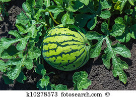 Watermelon plant Images and Stock Photos. 4,272 watermelon plant.