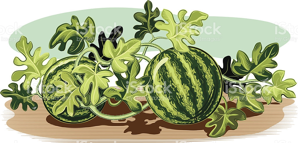 Plant Of Watermelon stock vector art 165913157.
