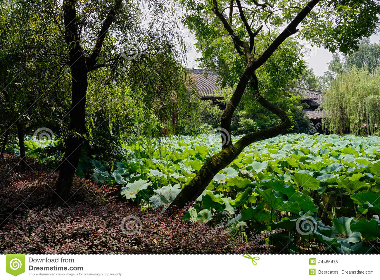Waterside Tree Bent Over Lotus Pond In Sunny Summer Stock Photo.