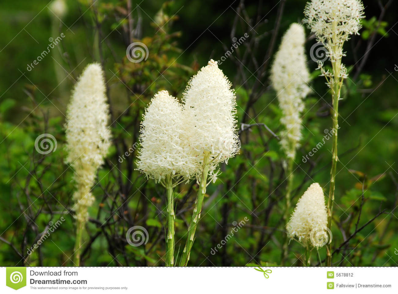 Bear Grass Flowers In Waterton Stock Photography.
