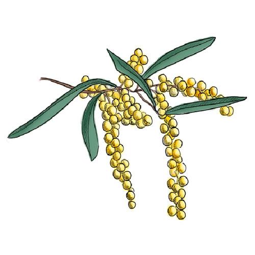 Wattle Tree Clip Art.