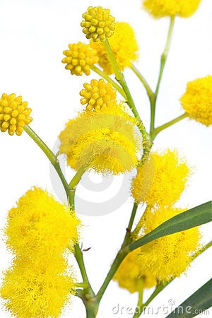 Wattle flower clipart.