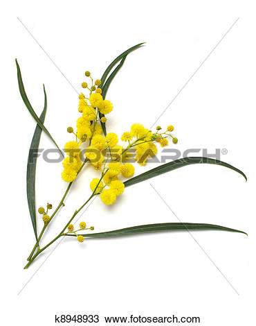 Stock Photo of Wattle k8948933.