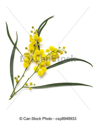 Stock Photos of Wattle.