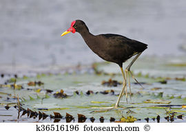 Wattled jacana Stock Photos and Images. 43 wattled jacana pictures.