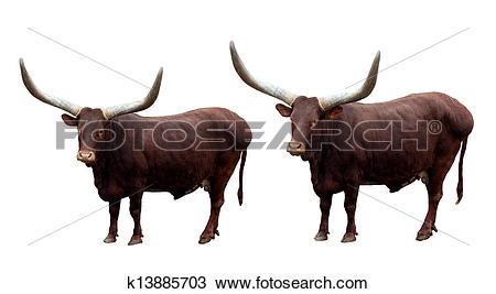 Stock Photo of Watusi cattle k13885703.