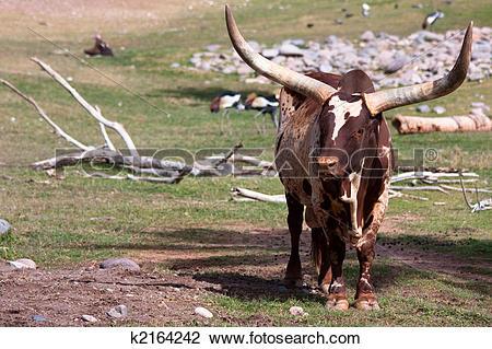 Stock Photo of Watusi cattle k2164242.