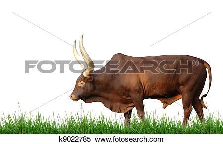 Stock Image of watusi isolated k9022785.