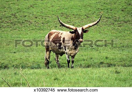 Stock Image of Watusi Cattle x10392745.