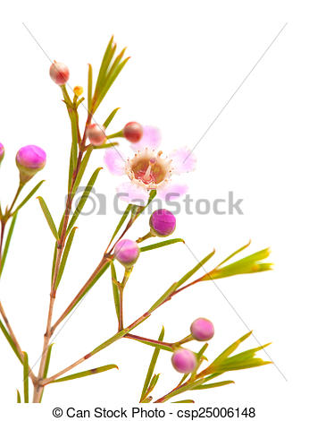 Stock Photo of wax flower isolated on white background.