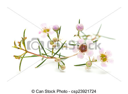 Stock Photo of wax flower isolated.