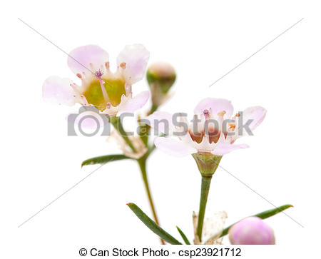 Stock Photography of wax flower isolated.