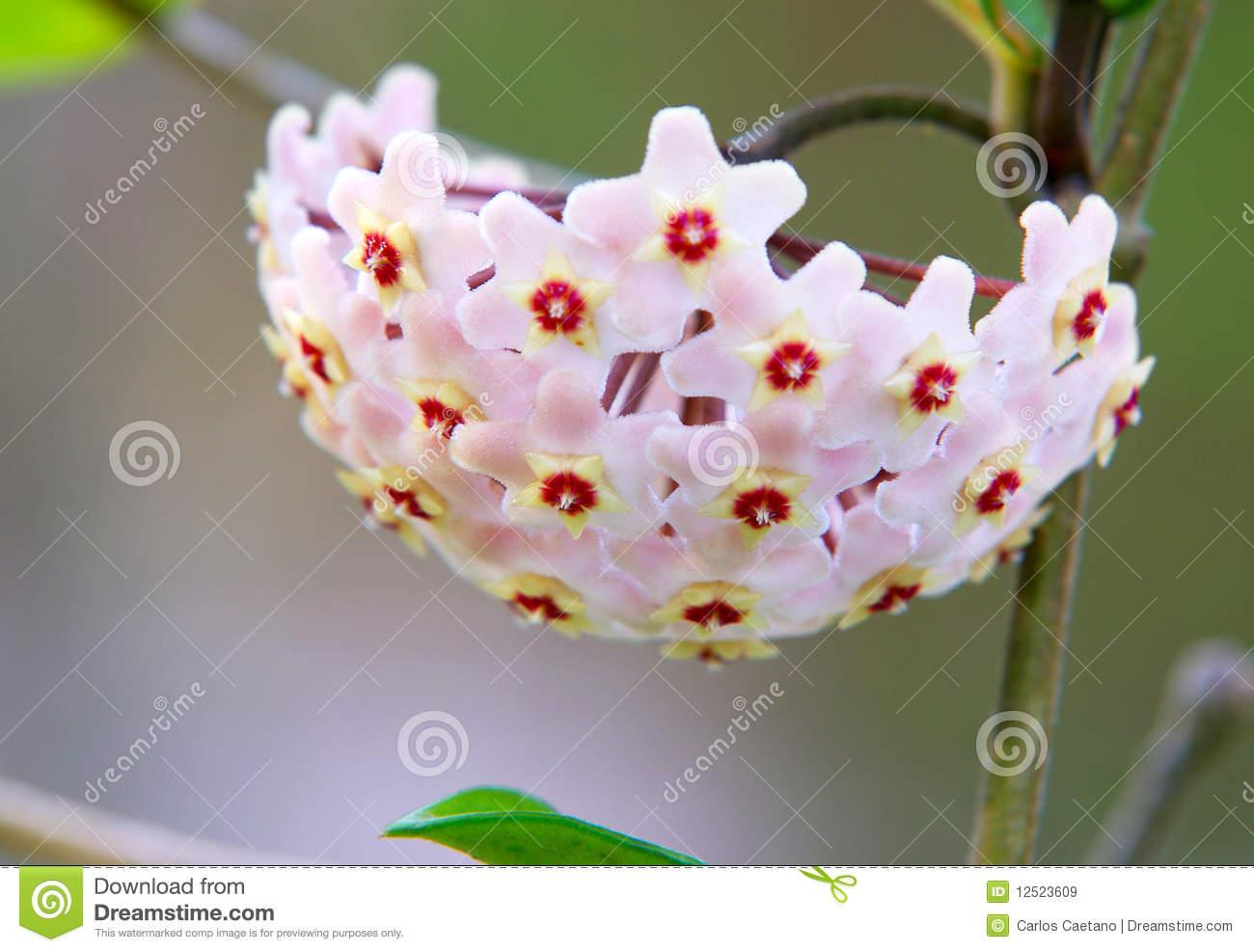 White Wax Flower Detail Stock Photo.