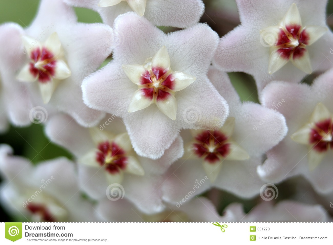 White Wax Flower Detail Stock Photo.