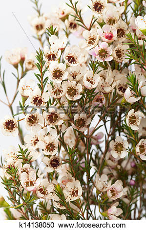 Stock Photography of wax flower k14138050.