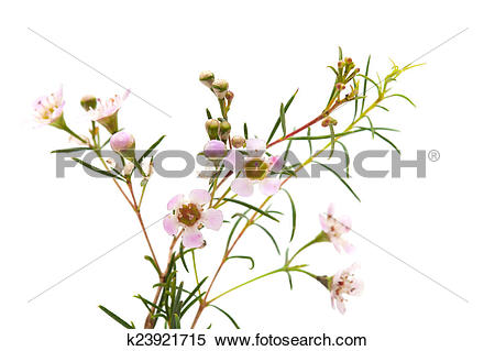 Stock Image of wax flower isolated k23921715.