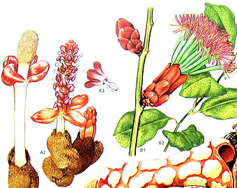 Mango Wax Plant Botanical Print Vintage by mysunshinevintage.