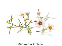 Stock Photo of Pink wax flower.