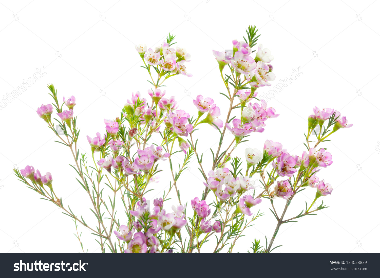 Closeup Waxflower Plant Isolated On White Stock Photo 134028839.