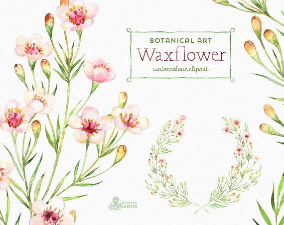 Waxflower. Botanical art. Watercolor Floral by OctopusArtis.