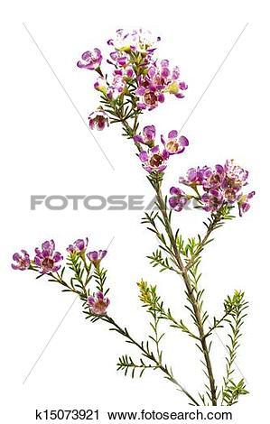 Stock Photography of Chamelaucium uncinatum or waxflower k15073921.