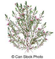 Vector Clip Art of Hoya carnosa or wax plant vintage engraving.