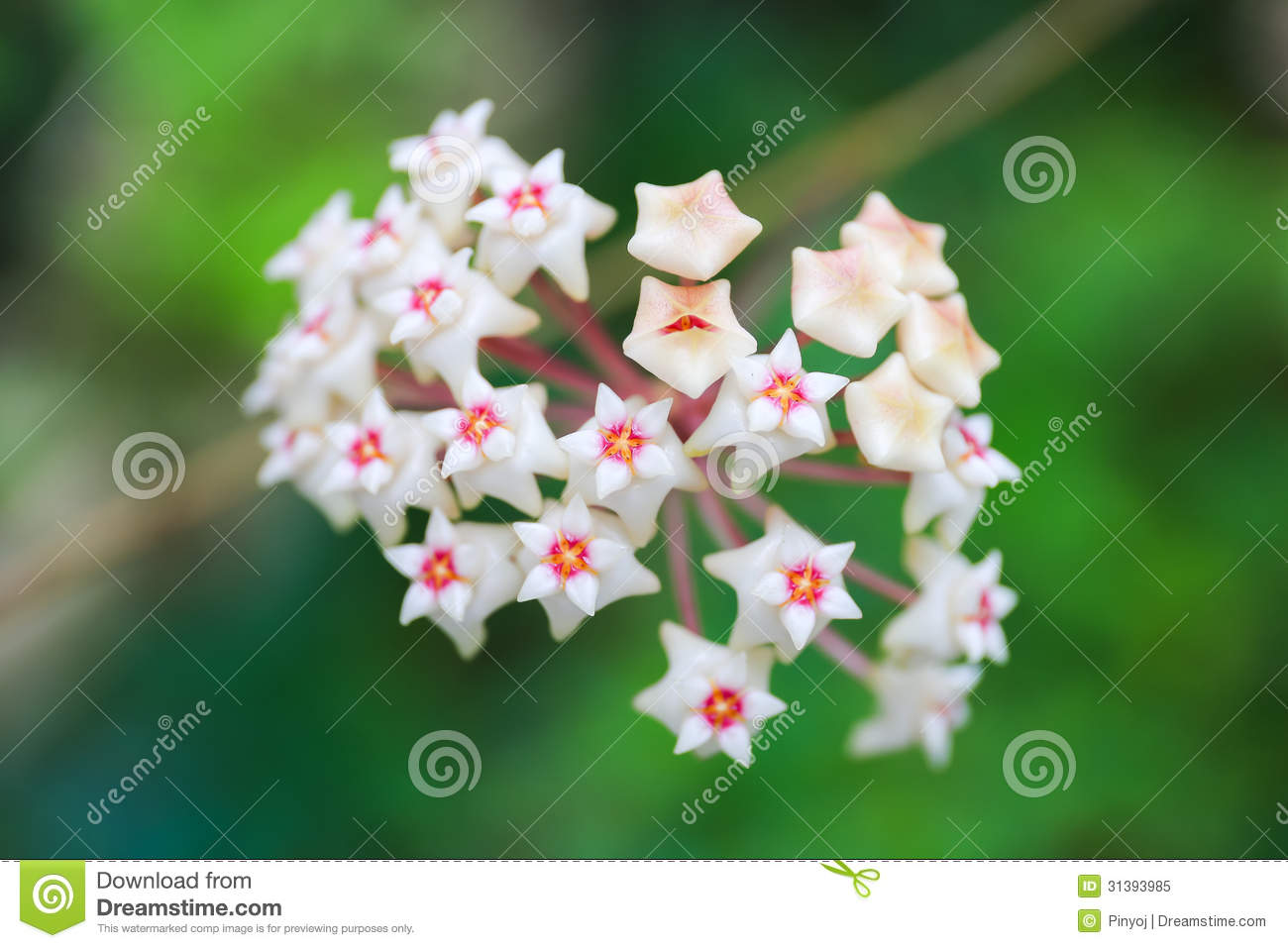 Wax Plant Or Wax Flower Royalty Free Stock Photo.