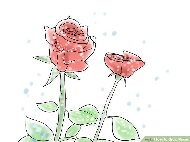 4 Ways to Grow Roses.