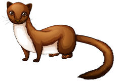 Brown White Weasel Stock Illustrations.