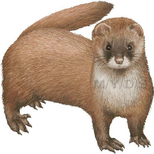 Siberian Mountain Weasel, Kolinsky, Himalayan Weasel clipart.