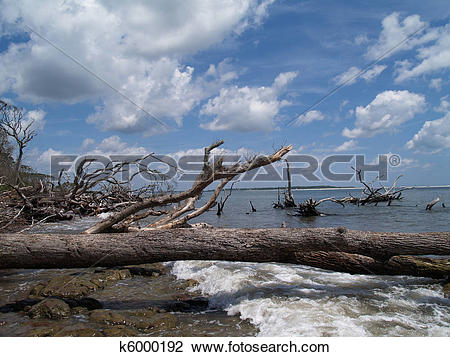Stock Photo of Weathered Fallen Trees on Beach k6000192.