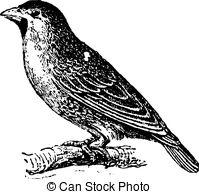 Vector Clip Art of Weaver bird, vintage engraving..