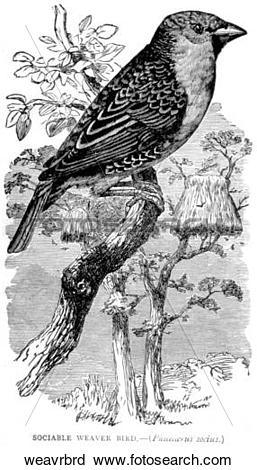 Clipart of Birds. A weaver bird. weavrbrd.