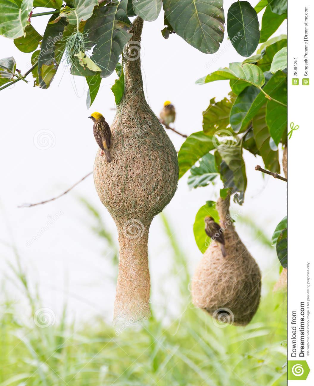 Weaver Bird Nest Clipart.