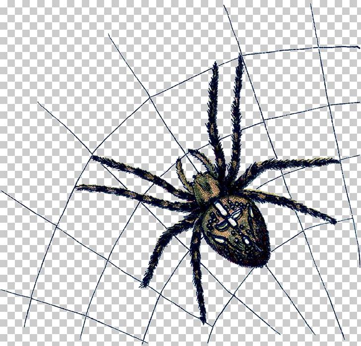 Widow spiders Angulate orbweavers Arthropod Animal, spider.