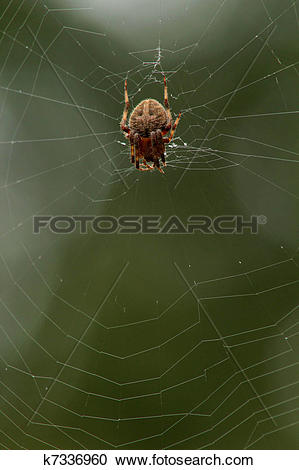 Stock Photography of Orb weaving spider on web with green.