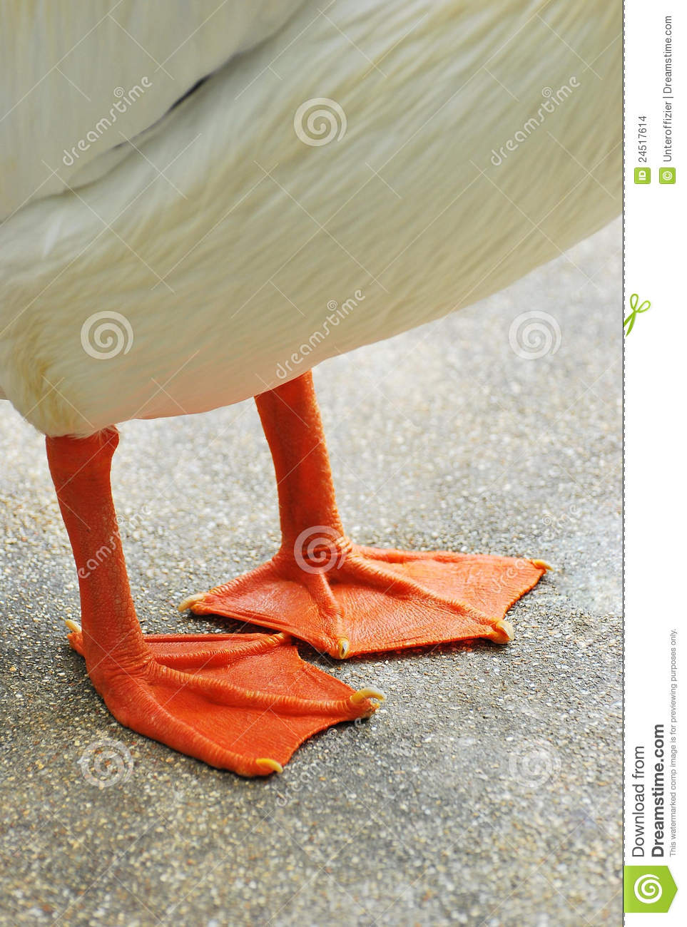 Webbed Feet Stock Images.