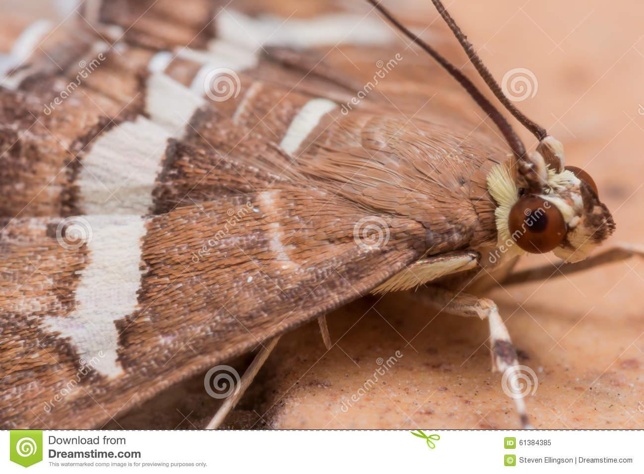 Hawaiian Beet Webworm Moth (Spoladea Recurvalis) Close Up Stock.