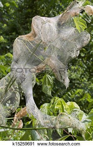 Stock Photography of Web Worm Sac k15259691.