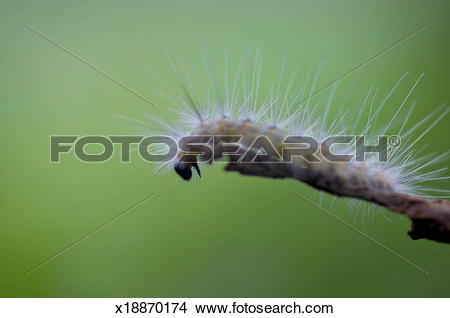 Stock Photo of Larvae fall webworm (Hyphantria cunea) x18870174.