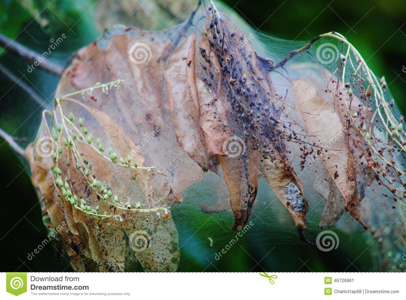 Destruction Of Tree Branch By Web Worm Nest Stock Photo.