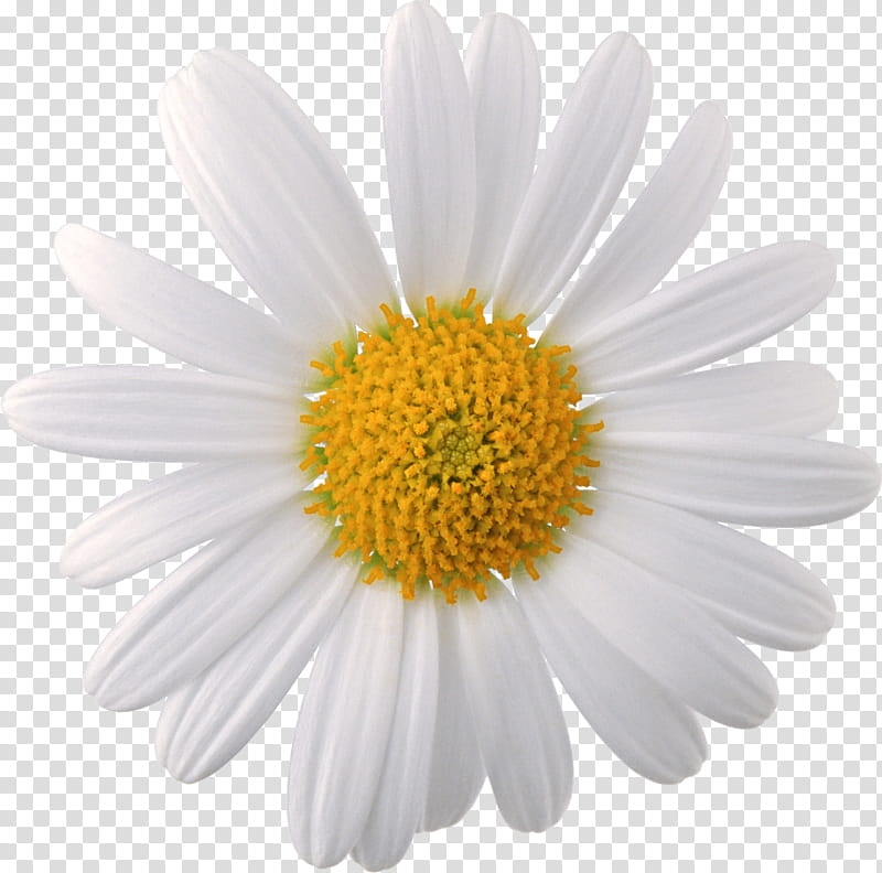 Spring YEAR ON DA, white daisy flower isolated on black.