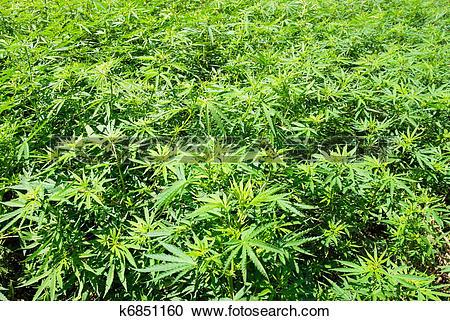 Stock Photography of Field of green marijuana (hemp) k6851160.