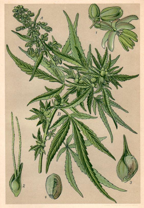 1901 Antique Botanical Print, Cannabis sativa, Vintage Old.