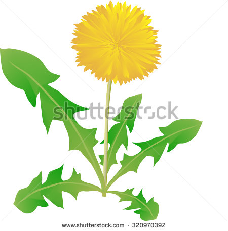 Dandelion On A White Background, A Medical Plant, A Flower The.