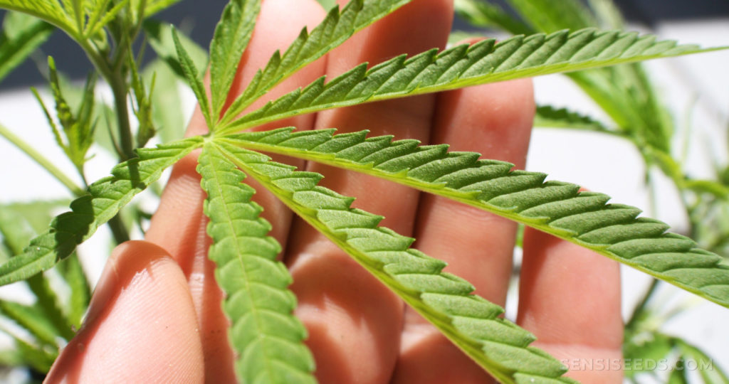 Understanding, Identifying and Using Cannabis Leaves.