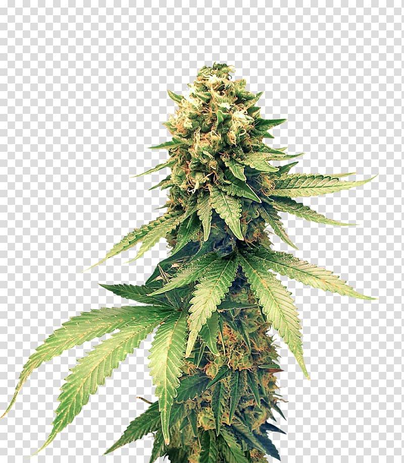 Hemp Charlotte\\\'s web Cannabis Fiber Textile, Cannabis.
