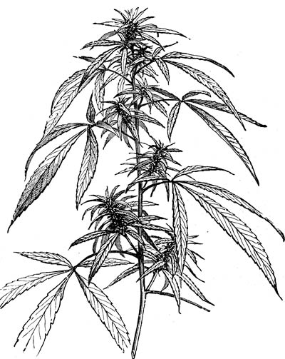 Weed Plant Drawing.