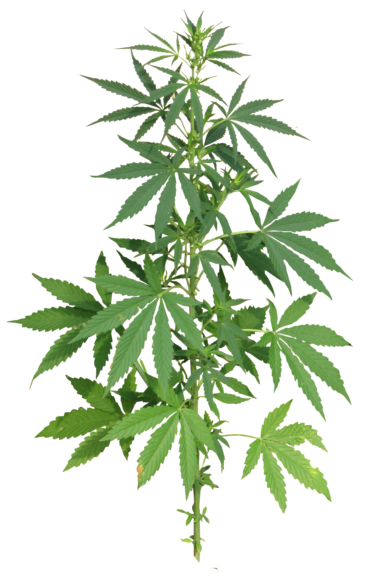 Cannabis Plant full PNG Image.