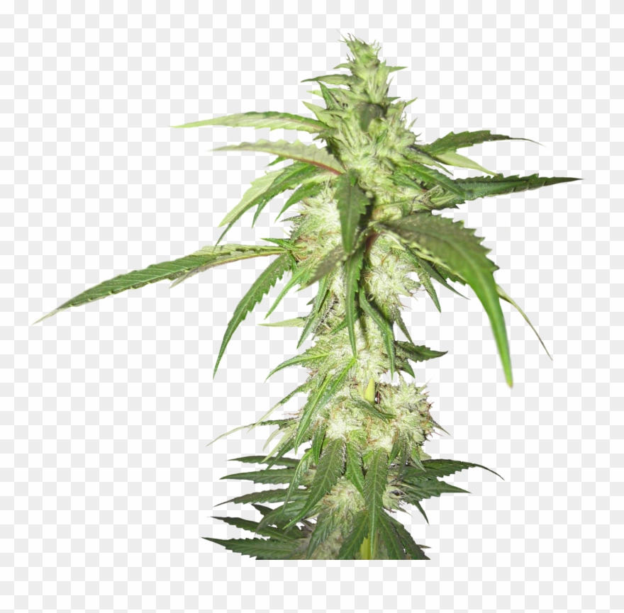 Cannabis Png Images Free.